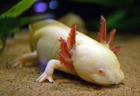 Scenari da fantascienza con il Dna della super salamandra – VIDEO