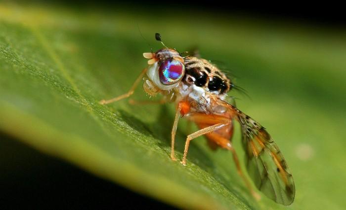 Trovato il gene per disarmare la mosca dei frutteti