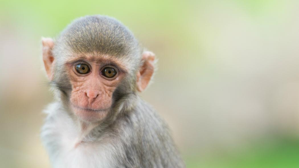 Il bullismo influenza i geni? Così capita nelle scimmie