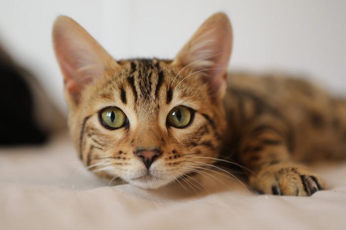 Risultati positivi dal test di fase 1 del vaccino anti Covid sui gatti