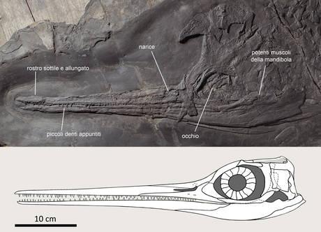 Dai sotterranei i resti di antichi rettili marini, uno è da record
